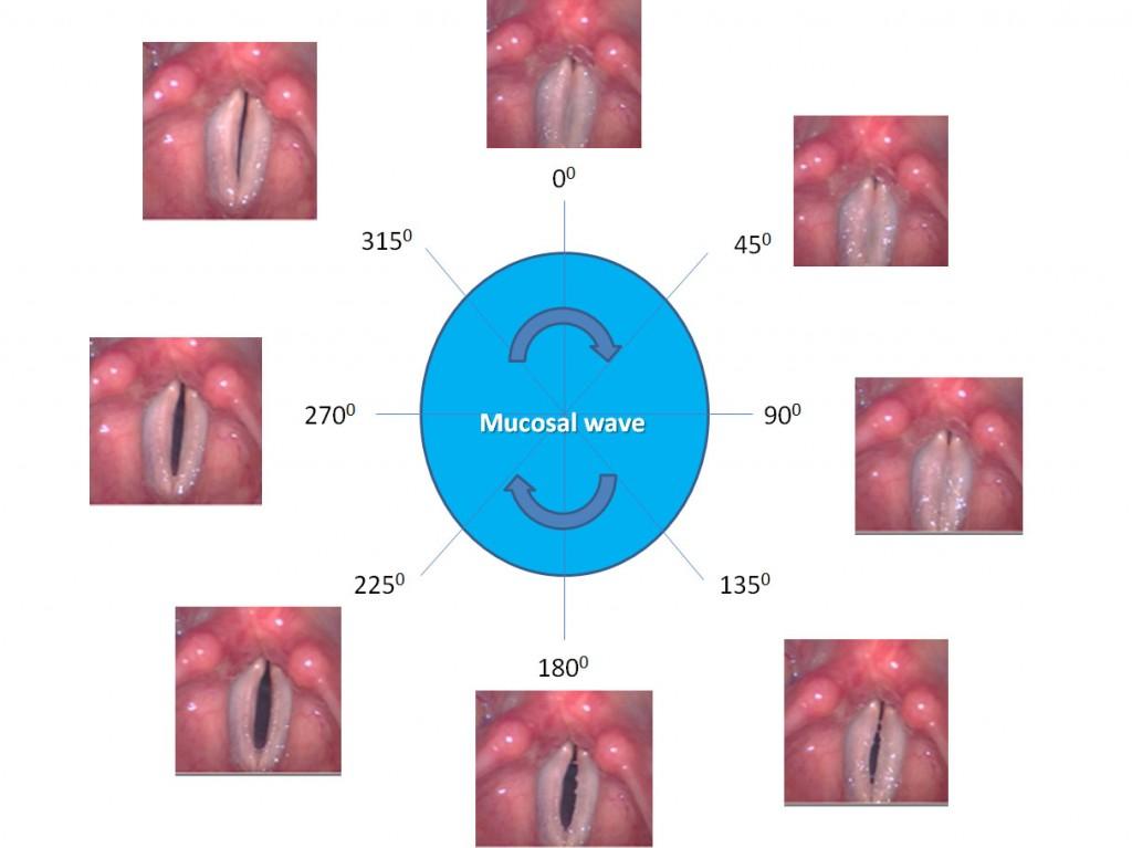 Mucosal-wave-vibratory-cycle